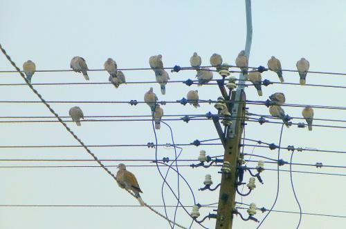 Najedzone do syta synogarliczki z zaciekawieniem obserwują ptasią stołówkę :)