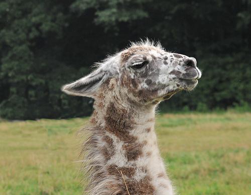 dostojna Lama #Lama #zwierzeta w #Lienen