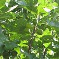 Figi L'Ile #aux #Moines #owoce #figi