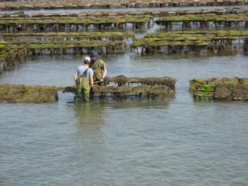 Robotnicy przewracają worki z ostrygami #Golf du #Morbihan