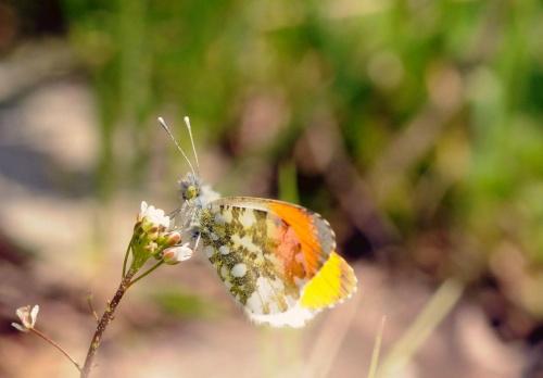 Jak się nazywa ten motylek?
