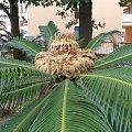 palmy kwitna ?