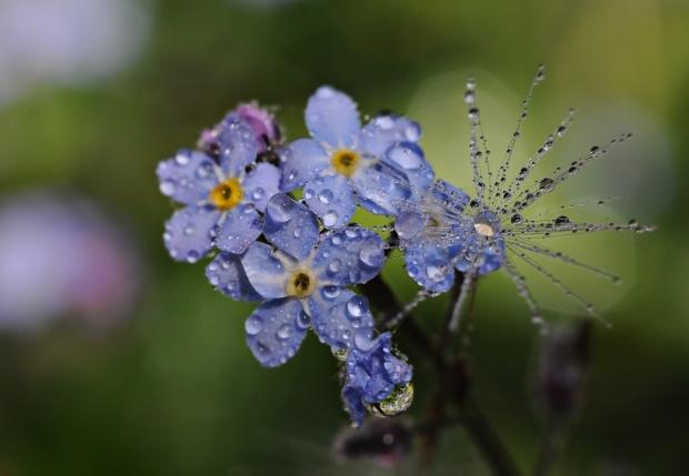 Dzisiaj i deszcz i słońce...i niezapominajka w przybraniu