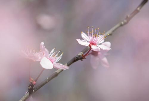 Wiosna na różowo