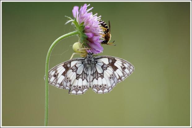 Krótki żywot motylka.