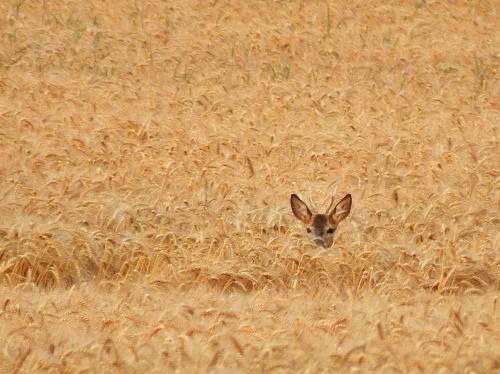 zdjęcie z sierpnia, z okresu żniw ... **** ulub. nupi; balbisia; kasiek01; Mataba; jovanka1 ****