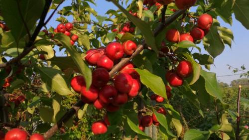 Owoce mojej rajskiej jabłoneczki...